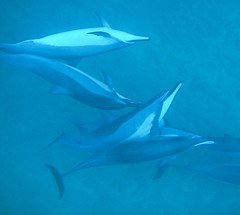 Wild Dolphin Play