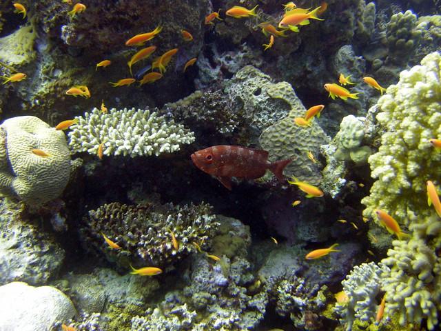 Big eye squirrel fish and anthias on house reef flickr for Big eye squirrel fish