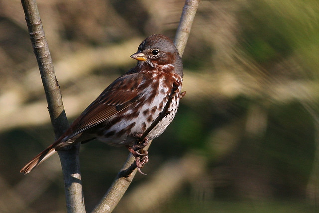 Fox Sparrow at NC's Pee Dee NWR