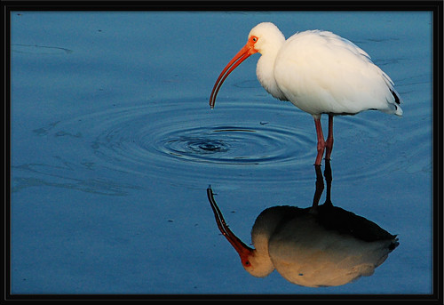 Ibis Reflection 2