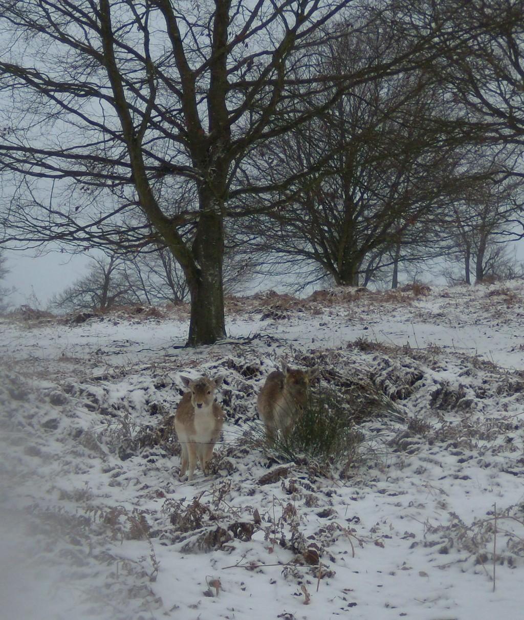 Deer - Knole Park Leigh to Sevenoaks