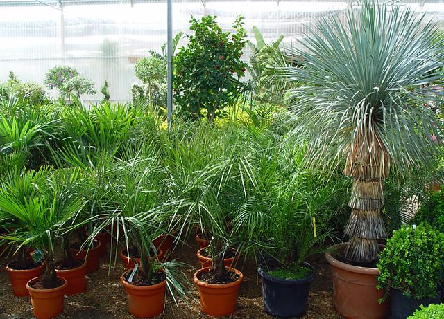 Colecci n de palmeras ornamentales sin embargo adem s for Viveros de plantas en quillota