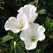 field bindweed - Photo (c) beautifulcataya, some rights reserved (CC BY-NC-ND)
