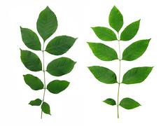 Fraxinus americana - White Ash leaves