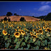 Tuscany Sunflower Field