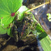 Small photo of Cricket Frog, Acris crepitans