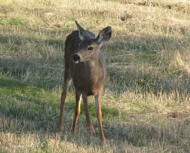 Best Shot Of Single Deer In Cool Ca Flickr Photo Sharing