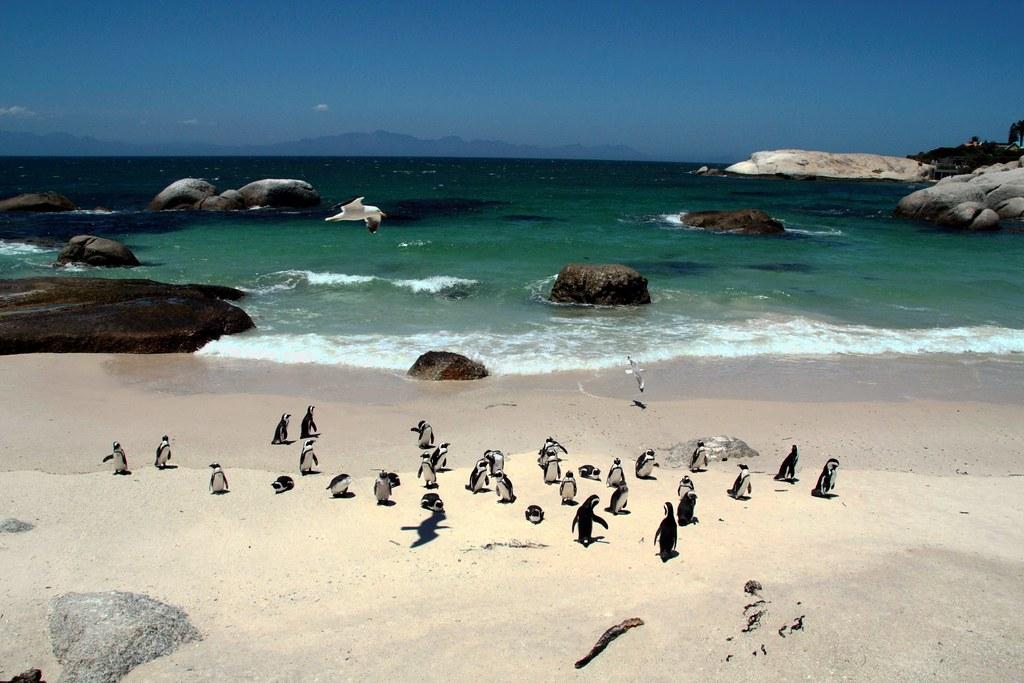 пляж боулдерс пингвины