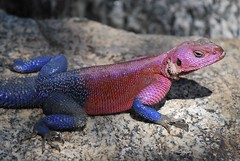 green lizard(0.0), komodo dragon(0.0), lacerta(0.0), agama(1.0), animal(1.0), reptile(1.0), lizard(1.0), gecko(1.0), fauna(1.0), scaled reptile(1.0), wildlife(1.0),