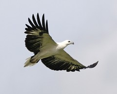 White-bellied Sea-Eagle - Photo (c) Lip Kee Yap, some rights reserved (CC BY-SA)