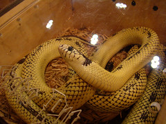 boas, animal, serpent, snake, reptile, hognose snake, viper, scaled reptile,