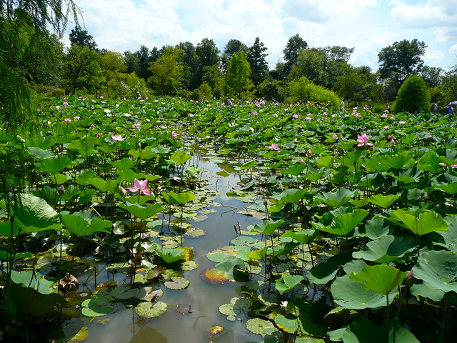 Aquatic Kenilworth Aquatic Gardens