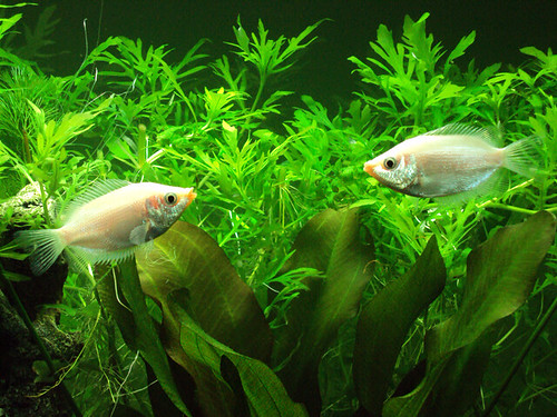 Fish pink gouramis not kissing flickr photo sharing for Pink kissing fish