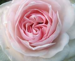 Pink cabbage rose
