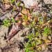 Ludwigia x lacustris