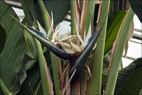 Oiseau Du Paradis Strelitzia Reginae In The Indoor
