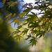 Japanese maple crop