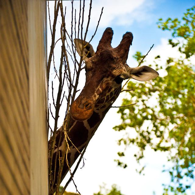Giraffe in Cologne Zoo