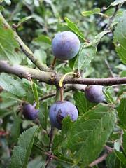 shrub(0.0), berry(0.0), flower(0.0), plant(0.0), produce(0.0), food(0.0), prunus spinosa(0.0), bilberry(0.0), branch(1.0), tree(1.0), damson(1.0), flora(1.0), fruit(1.0),