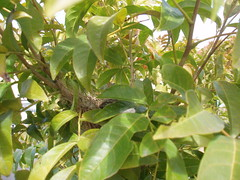 shrub(0.0), produce(0.0), fruit(0.0), food(0.0), evergreen(1.0), flower(1.0), leaf(1.0), tree(1.0), plant(1.0), bay laurel(1.0),