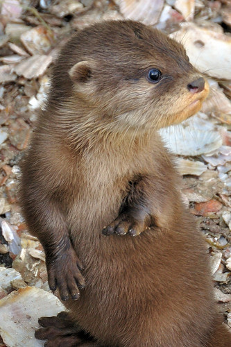 Otter  pup cuteness by Paul Stevenson