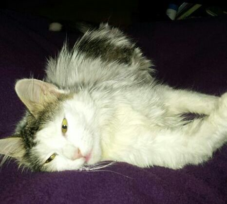 Neus, gata blanca cruce Van Turco pelo largo nacida en Julio´13 en adopción. Valencia. ADOPTADA. 13057295064_0e24d13c1a