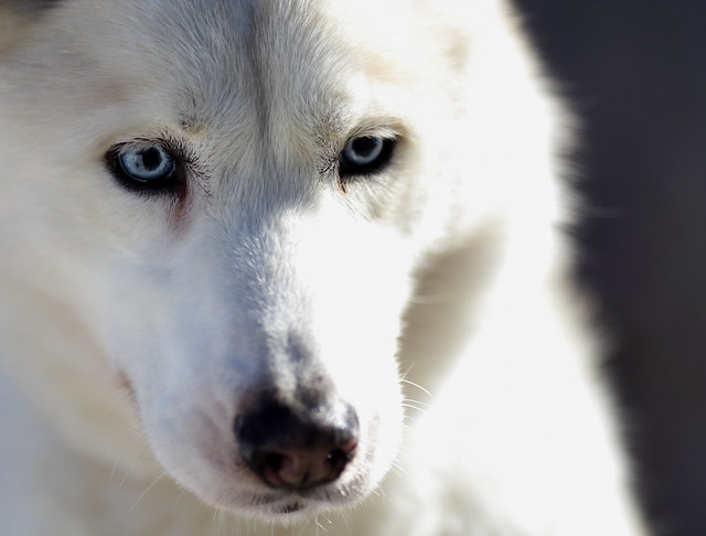 White Siberian Husky | Flickr - Photo Sharing!