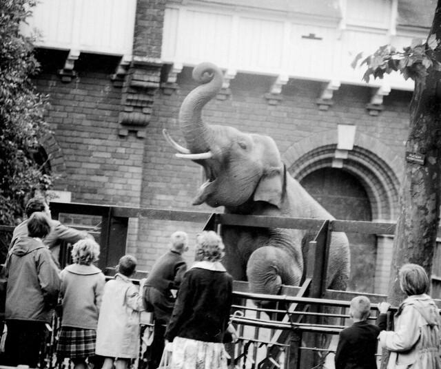 Artis-nieuws. Gillende olifant