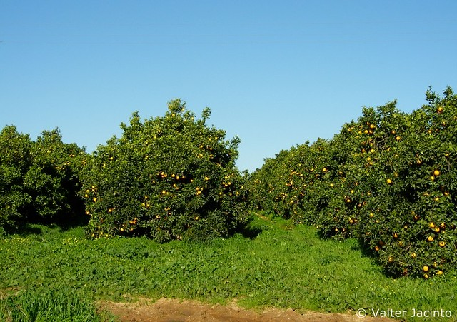 Pomar de Laranjeiras // Orange Trees (Citrus sinensis)