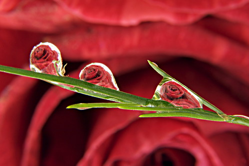 Roses water droplets