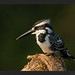 Pied Kingfisher - Photo (c) Supriya 'n' Subharghya, some rights reserved (CC BY-NC-ND)