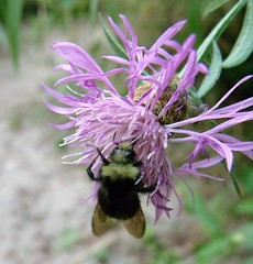 honey bee(0.0), nectar(0.0), flower(1.0), purple(1.0), plant(1.0), bee balm(1.0), invertebrate(1.0), insect(1.0), macro photography(1.0), herb(1.0), wildflower(1.0), flora(1.0), bee(1.0), bumblebee(1.0),