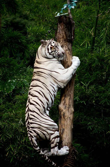 Climbing White Tiger Flickr Photo Sharing