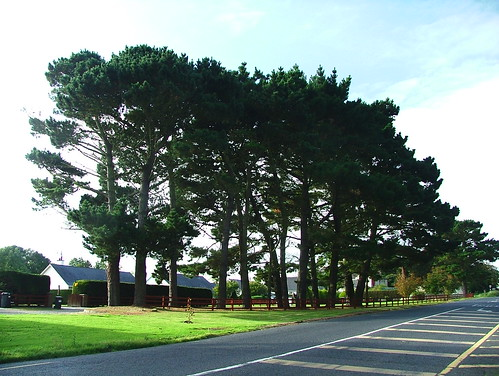 Carlingford- Millgrange- stand of Monterey Pine (Pinus radiata)- DSCF2866