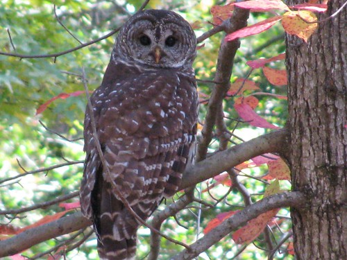 Beautiful Barred Owls can be seen (and heard) in many Virginia State Parks