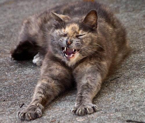 tortie cat stretching and yawning