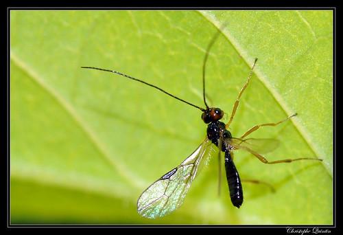 Braconidae/Alysiinae