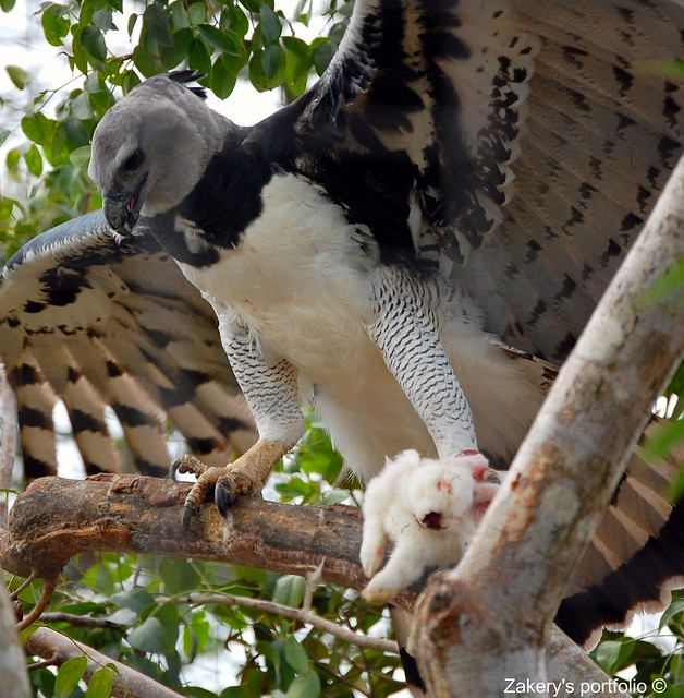 Harpy Eagle Eating his lunch | Flickr - Photo Sharing!