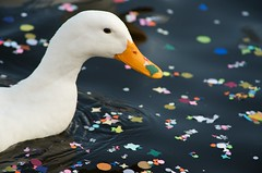 ... Duck and Carnival  !!! Musk goose!