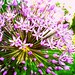 Small photo of Allium