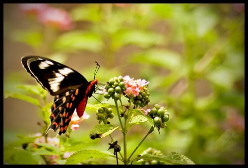 flower colorful nectar telephotolens buttefly littlethings sigma70300 restlesssoul shotfrommywindow nikond80 maidenshot rajeshvijayarajan rajeshvijayarajanphotography rajeshvj rajeshonflickr