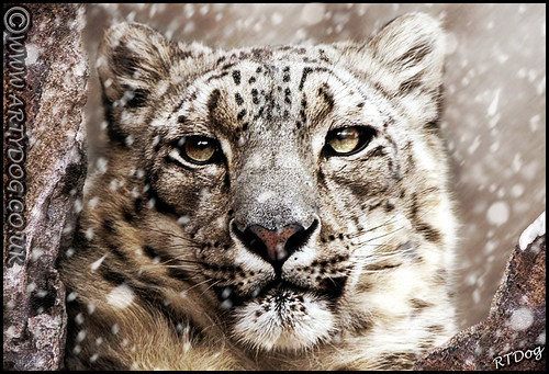 The Ice Queen - Snow Leopard Portrait