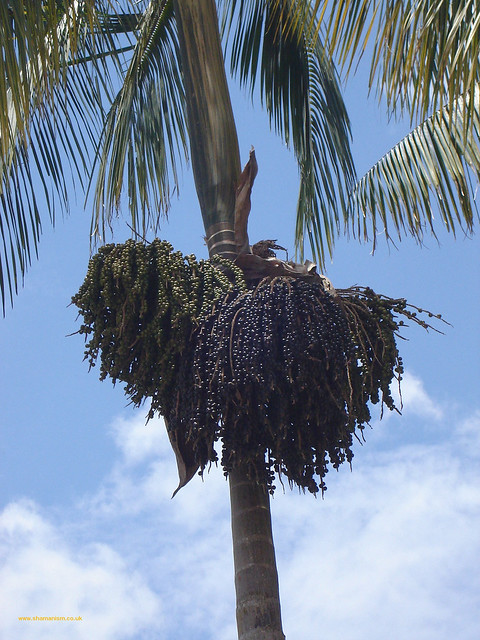 acai Berry Tree | Flickr - Photo Sharing!