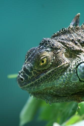 Iguana by Vilma Salazar