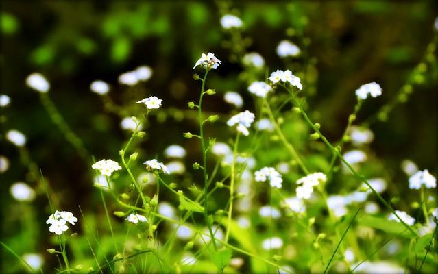 Bokeh - Flowers - Forget-me-nots