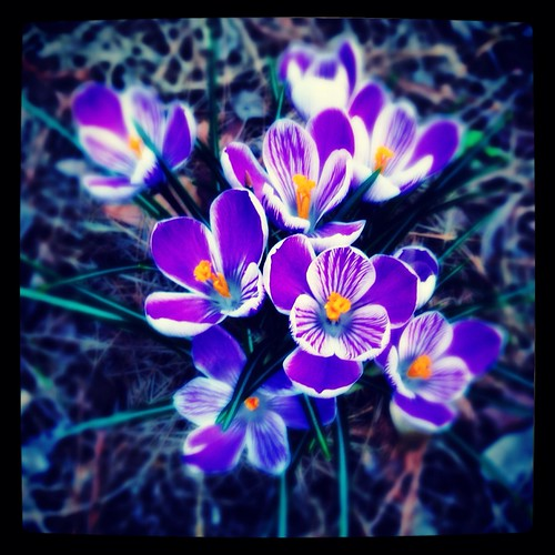 Crocus (70/365) by elawgrrl