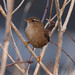 Winter Wren - Photo (c) Mark Kilner, some rights reserved (CC BY-NC-SA)