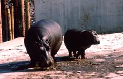 Hippopotamus mother and calf