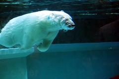 beluga whale(0.0), animal(1.0), polar bear(1.0), marine biology(1.0), mammal(1.0), underwater(1.0), bear(1.0),