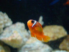 animal, anemone fish, fish, yellow, fish, coral reef fish, marine biology, macro photography, goldfish, fauna, underwater, reef, aquarium,